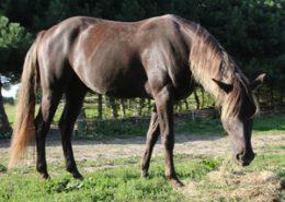 Miloh - den flotteste fyr, Rocky Mountain Horse